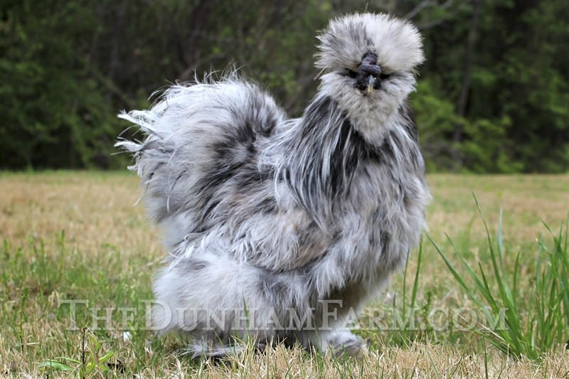 silkie hens for sale in texas the dunham farm