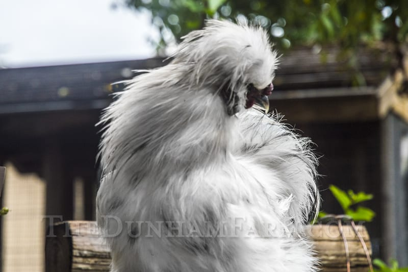 splash-silkie-19