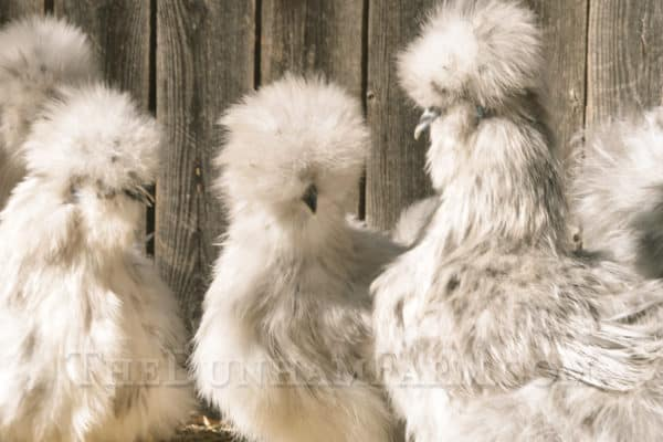 Silkie Chickens For Sale | In Texas | The Dunham Farm